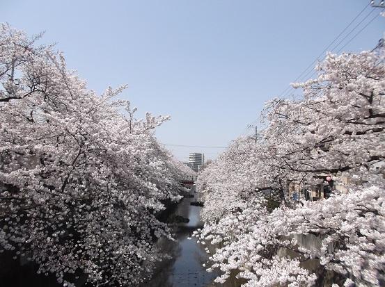 桜0508