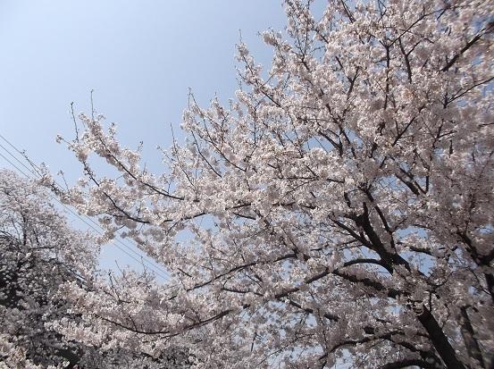 桜0514