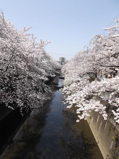 桜0509