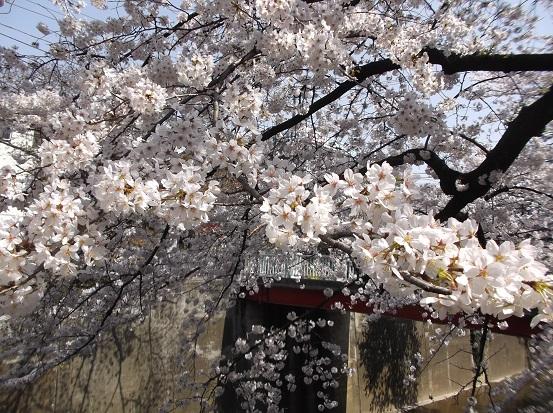 桜0530