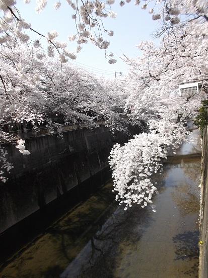 桜0513