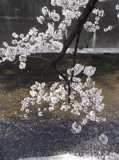 桜0656