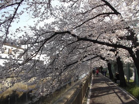 桜0596