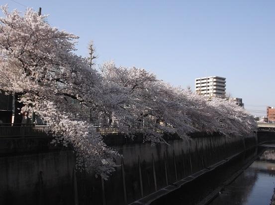 桜0610