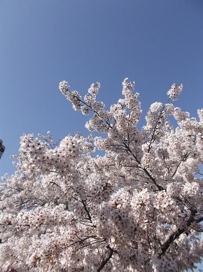 桜0619