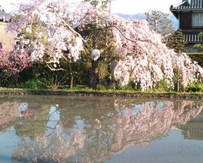 桜 滋賀県