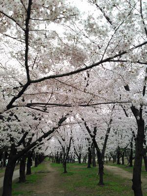 桜 羽衣公園