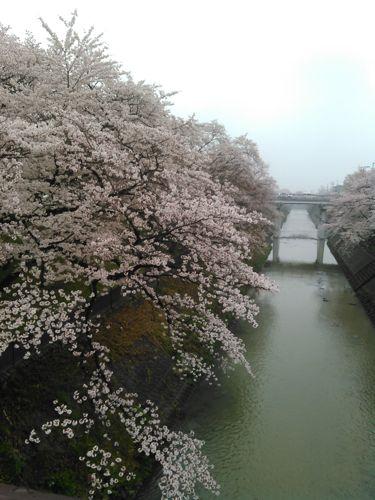 桜 岐阜県