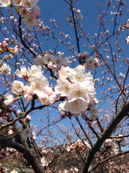 桜 アップ