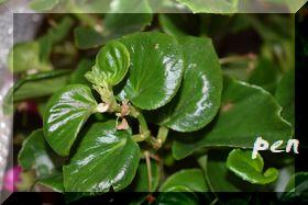 ベゴニア葉