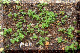 パセリ種蒔き