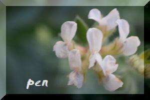 ブリムストーン花