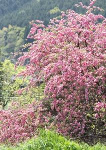 山桜だろうか?