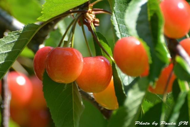 cherry150607-0001.jpg
