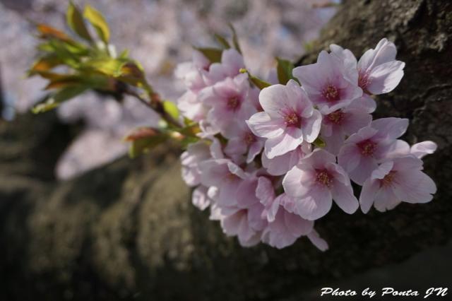 hirosaki1504-0002.jpg