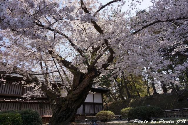 hirosaki1504-0009.jpg