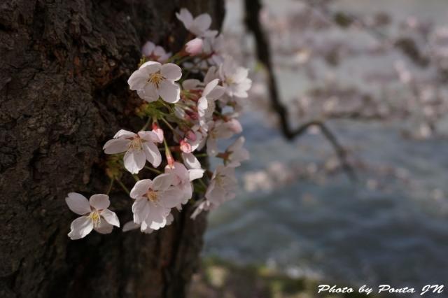 hirosaki1504-0065.jpg