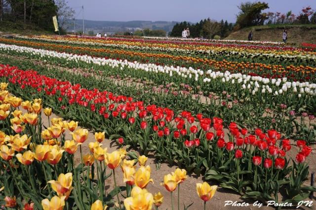 tulip15-0002.jpg