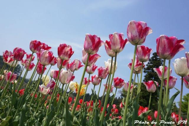 tulip15-0005.jpg