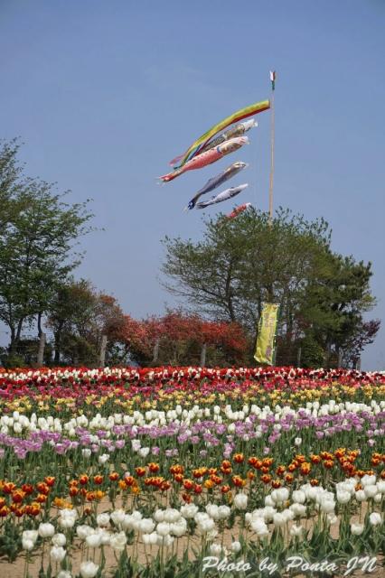 tulip15-0006.jpg