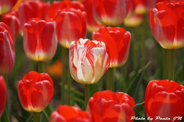 tulip15-0013.jpg