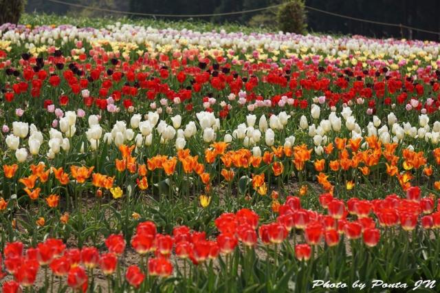 tulip15-0017.jpg