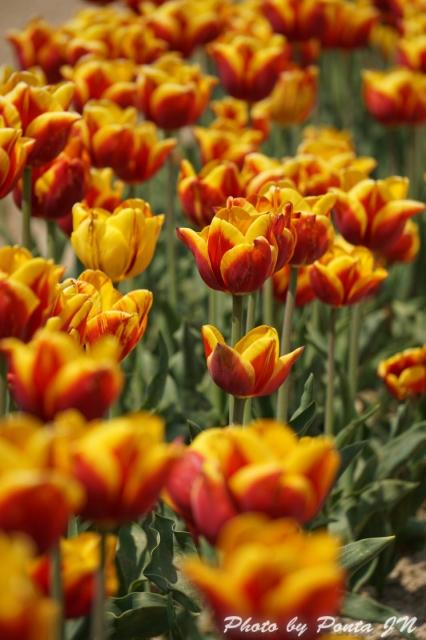 tulip15-0018.jpg