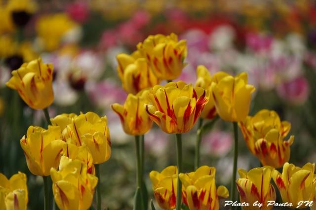 tulip15-0026.jpg