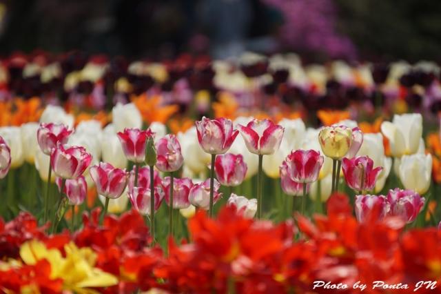 tulip15-0028.jpg
