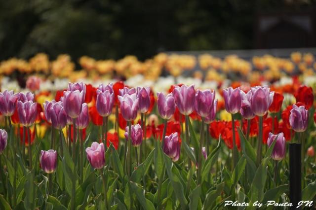 tulip15-0029.jpg