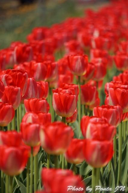 tulip15-0032.jpg