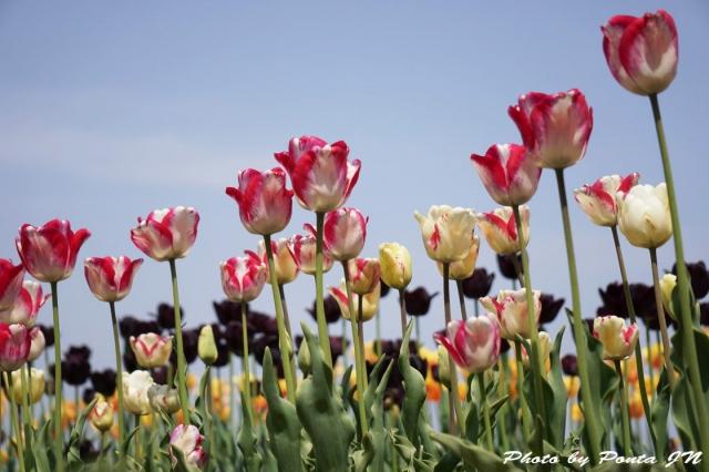 tulip15-0033.jpg