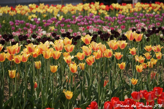 tulip15-0036.jpg