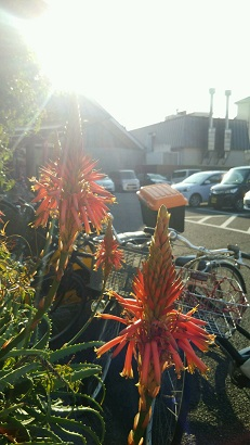 アロエの花1