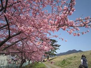 美和桜20151