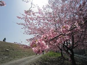 美和桜2015 3