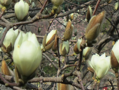 白モクレン十輪寺2015 3月14日 1