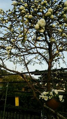 花桃2015 3月22日