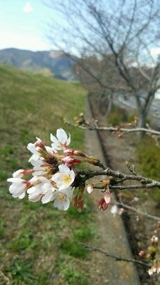 桜2015 開花