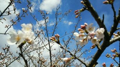桜2015 3月開花
