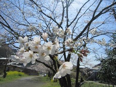 桜2015 2