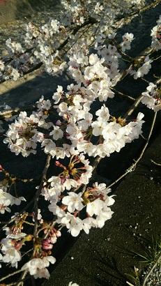 桜2015