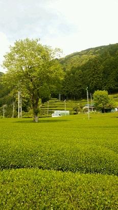 有東木の茶畑