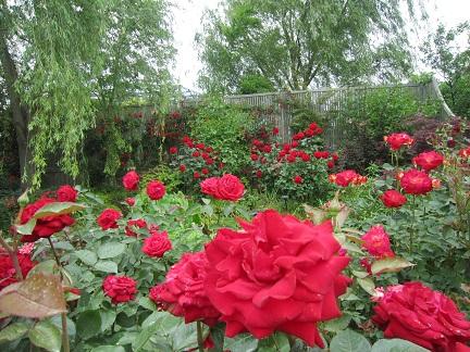 20155月18日赤いバラ