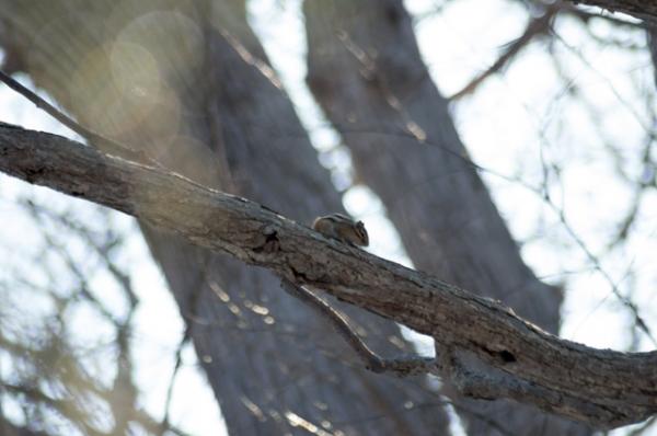 シマリス木の上