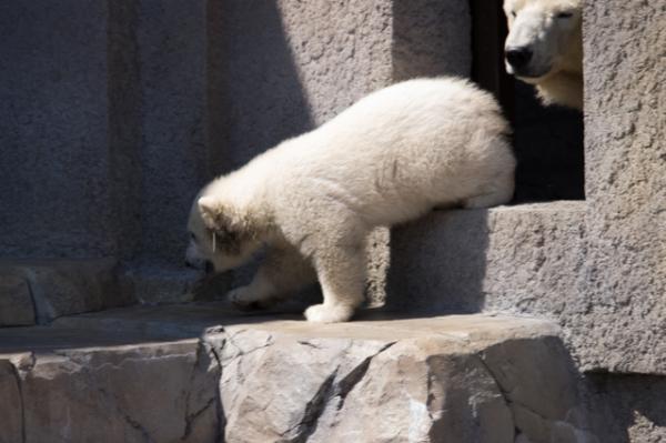 シロクマ赤ちゃん2
