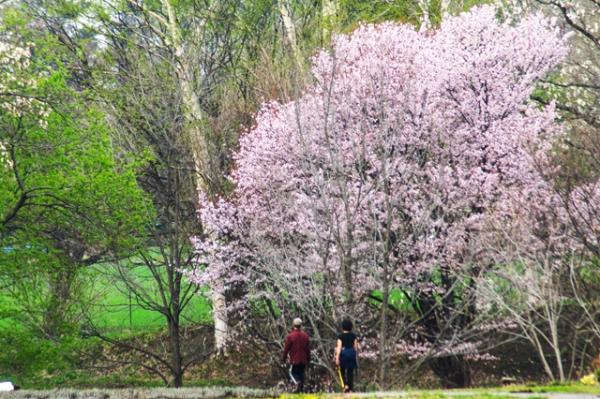 八こう学園桜
