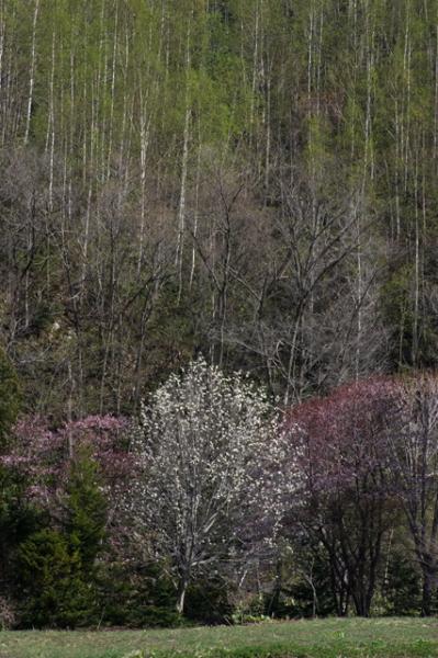ニセコ途中の桜