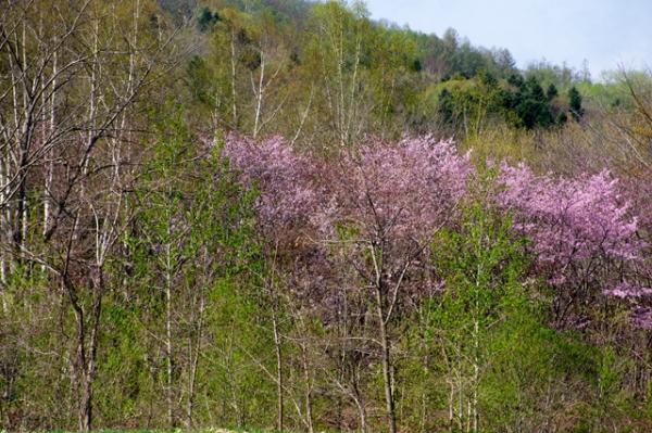 ニセコ途中の桜@