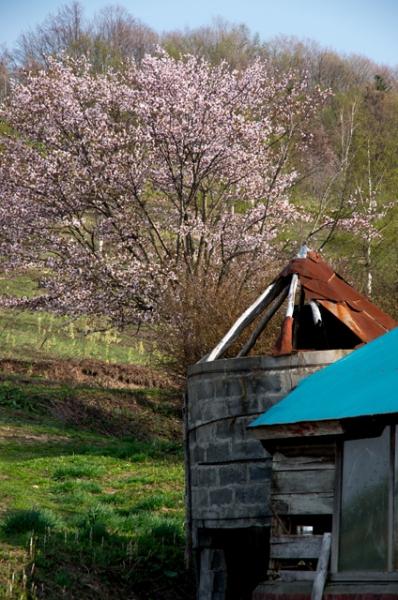 サイロと桜